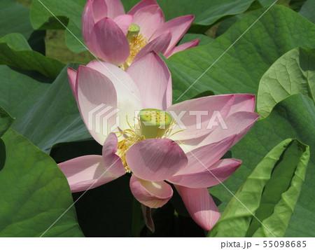 千葉公園のオオガハスの桃色の花 55098685