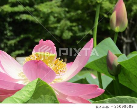 千葉公園のオオガハスの桃色の花 55098688