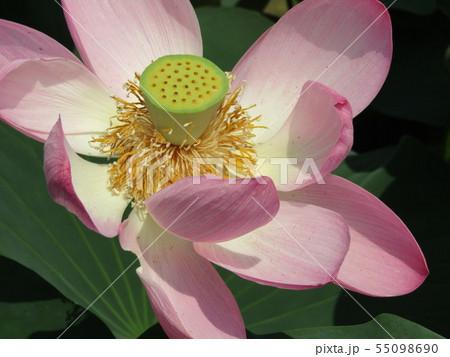 千葉公園のオオガハスの桃色の花 55098690