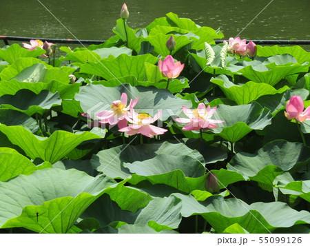 千葉公園のオオガハスの桃色の花 55099126