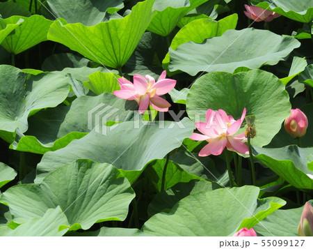 千葉公園のオオガハスの桃色の花 55099127