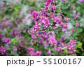 萩の花 55100167