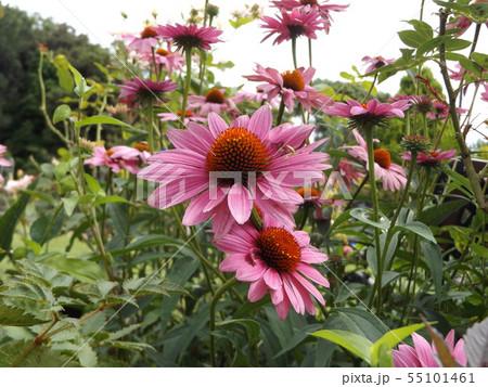 大きなヒマワリのような紫の花はエキナケア 55101461