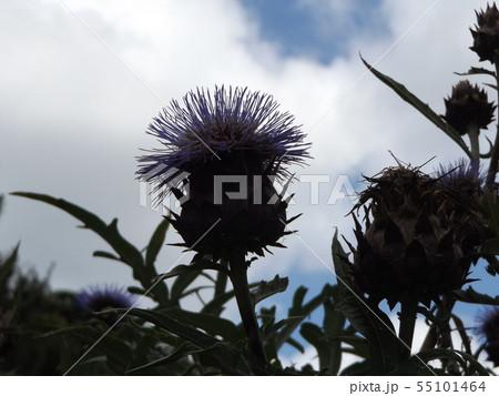大きいアザミのような夏の花はカールドンの花 55101464