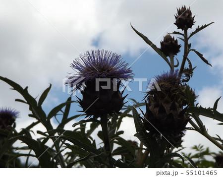 大きいアザミのような夏の花はカールドンの花 55101465