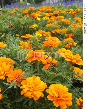マーリーゴールドの綺麗なオレンジ色の花 55101466