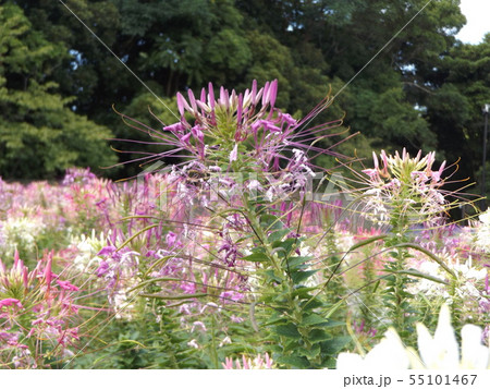 酔蝶花と呼ばれるクレオメの桃色と白色の花 55101467