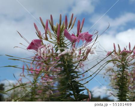 酔蝶花と呼ばれるクレオメの桃色の花 55101469