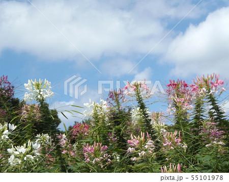 酔蝶花と呼ばれるクレオメの桃色と白色の花 55101978