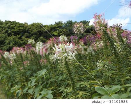 酔蝶花と呼ばれるクレオメの桃色と白色の花 55101988
