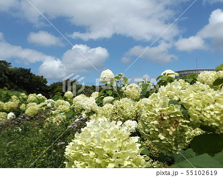 ハイドランジアアナベルというアジサイの白い花と青い空と白い雲 55102619