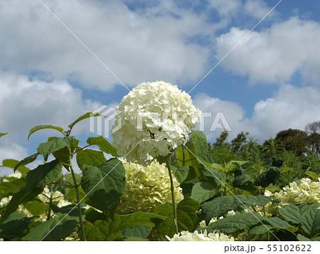 ハイドランジアアナベルというアジサイの白い花と青い空と白い雲 55102622