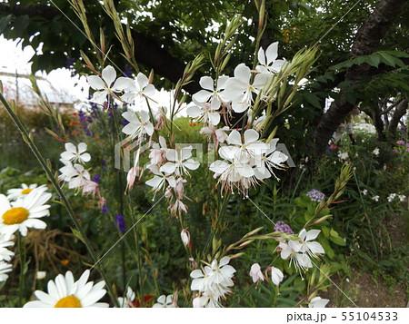 白いかわいい蝶のような花はガウラの花 55104533