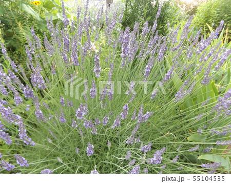 七面鳥の羽の様に広がるラベンダーの紫色の花 55104535