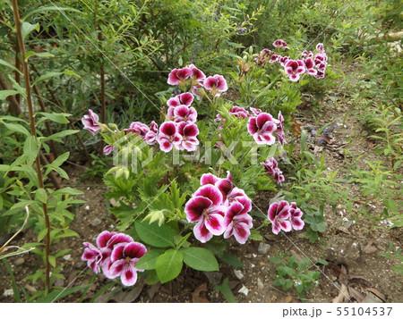 ペラルコニュームの白い縁取りの赤い花 55104537