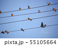 The Swallows, Martins And Saw-Wings, Or 55105664