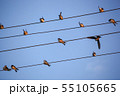The Swallows, Martins And Saw-Wings, Or 55105665