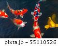鯉 55110526