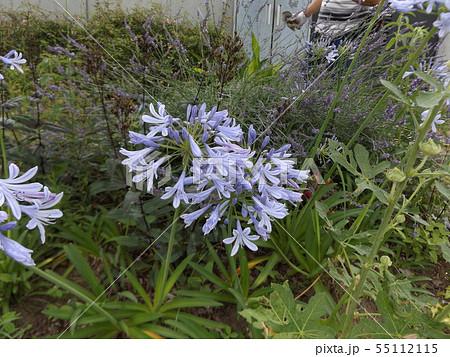青空と白い雲とアガパンサスの青い花 55112115