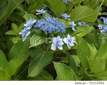 夏を彩る空色のガクアジサイの青い花 55113002