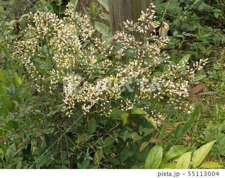 小さい沢山の白い花は南天の花 55113004