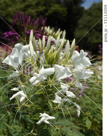 酔蝶花と呼ばれるクレオメの白色の花 55113009