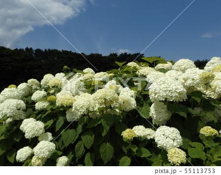 ハイドランジアアナベルというアジサイの白い花と青い空と白い雲 55113753