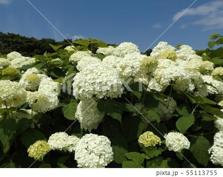 ハイドランジアアナベルというアジサイの白い花と青い空と白い雲 55113755