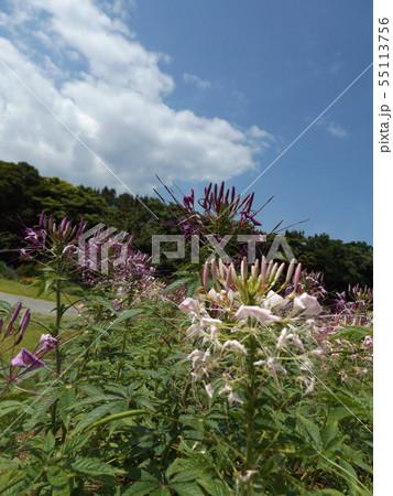 酔蝶花と呼ばれるクレオメの白色と紫色の花 55113756