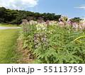 酔蝶花と呼ばれるクレオメの紫色と白色の花 55113759