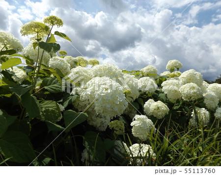 ハイドランジアアナベルというアジサイの白い花と青い空と白い雲 55113760