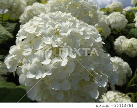 ハイドランジアアナベルというアジサイの白い花と青い空と白い雲 55113761
