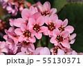 ヒマラヤユキノシタの花 55130371