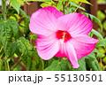 タイタンビカス 55130501
