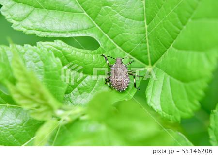クサギカメムシの幼虫 55146206