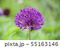 紫の花6 55163146