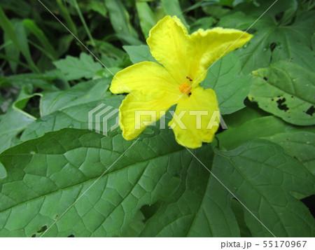 暑い夏に楽しめるゴーヤの黄色いきれいな花 55170967