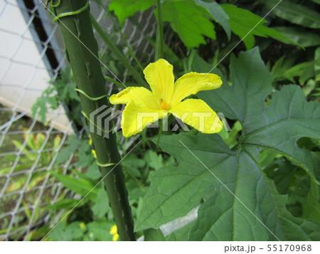 暑い夏に楽しめるゴーヤの黄色いきれいな花 55170968