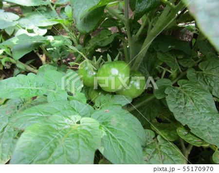 50円種で沢山育ったミニトマトの未熟な実 55170970
