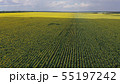 Sunflower field with a bird's-eye view 55197242