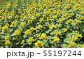 Sunflower field Aerial view 55197244