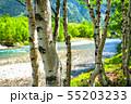 《長野県》新緑の上高地・岳沢と白樺 55203233