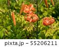 夏の花 鬼百合 55206211