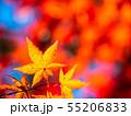 鮮やかな紅葉 55206833