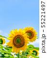 ひまわり、ヒマワリ、向日葵、ヒマワリ畑 55221497