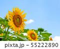 ひまわり、ヒマワリ、向日葵、ヒマワリ畑 55222890