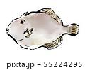 筆描き 魚類 カワハギ 55224295