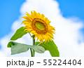 ひまわり、ヒマワリ、向日葵、ヒマワリ畑 55224404