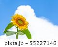 ひまわり、ヒマワリ、向日葵、ヒマワリ畑 55227146