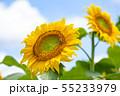 ひまわり、ヒマワリ、向日葵、ヒマワリ畑 55233979
